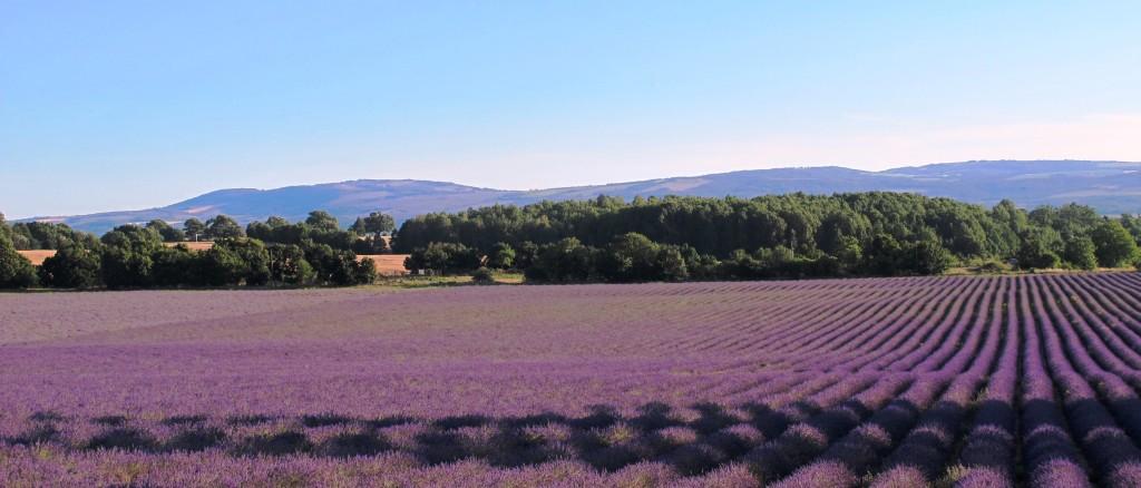 dreamy lavender landscape